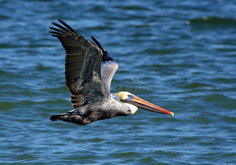 A Pelican has deep colors of grey, black and white on its wings. A pelican is a huge waterbird with very broad wings, a long neck, and a massive bill that gives royalty free stock photo