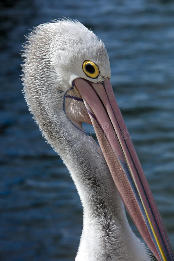 Free Pelican Head Royalty Free Stock Photography - 81246937