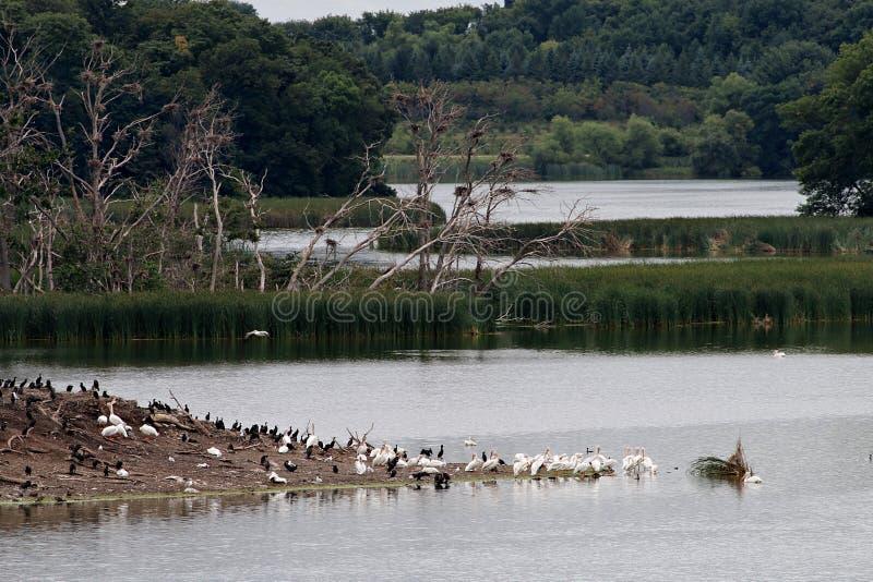 Pelican, Heron, and Cormorant Rookery on Pigeon Lake Island stock photography