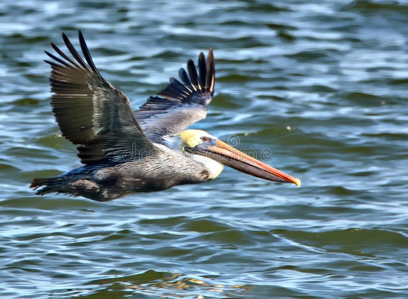 A Pelican flies low to the water in hopes of catching a fish. A pelican is a huge waterbird with very broad wings, a long neck, and a massive bill that gives the stock images