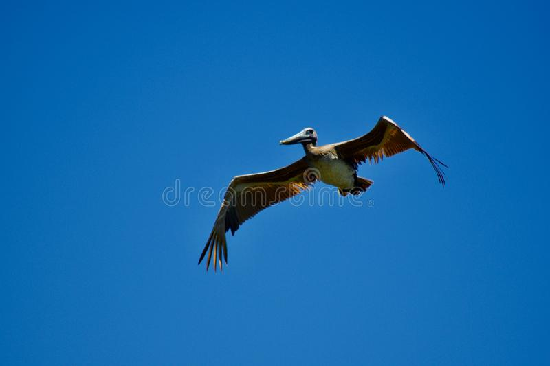 Pelican inflight gliding with wide wingspan royalty free stock photo