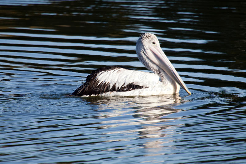 Pelican On The Lake stock image