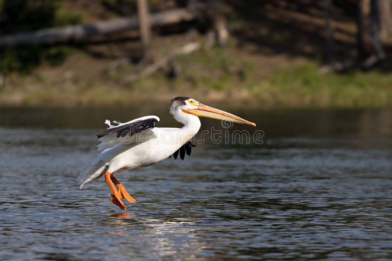 Pelican landing stock photography