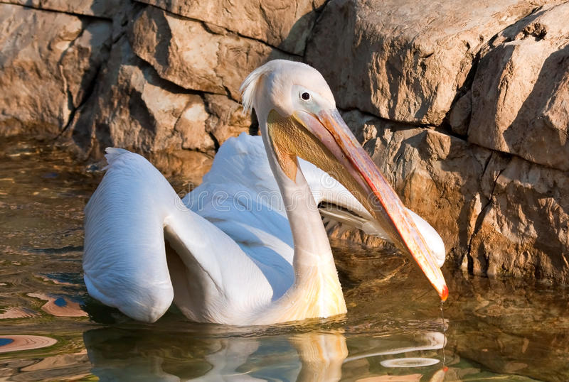 Download Pelican Landing On A Pond In A Zoo Stock Photo - Image: 15104822
