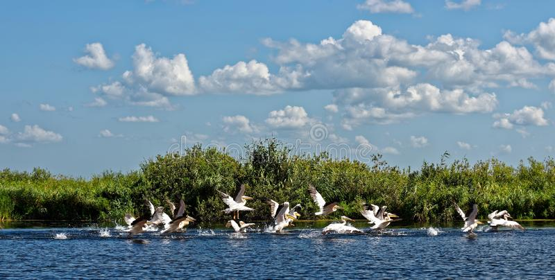 Pelican landscape. Group of pelicans in the Danube Delta royalty free stock photos