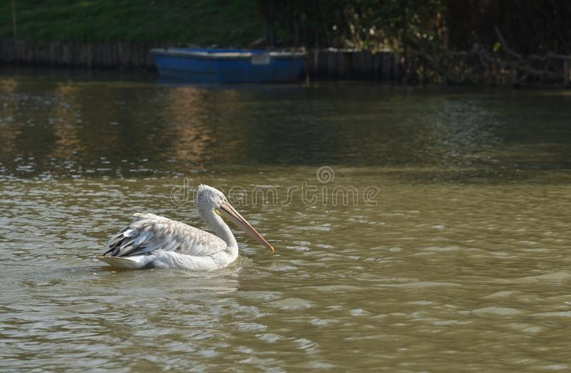Pelican large beak water bird. Pelican big beak water bird swimming stock images