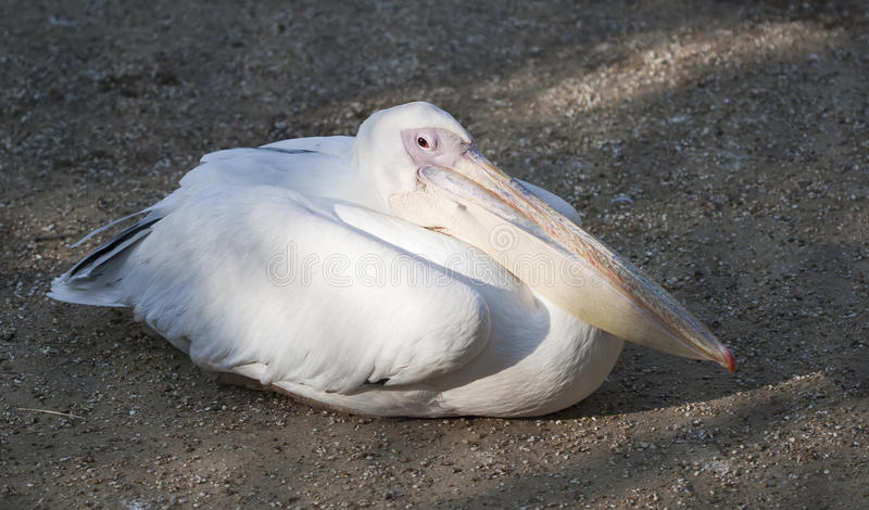 Download Pelican laying in the sand stock photo. Image of bird - 24291764