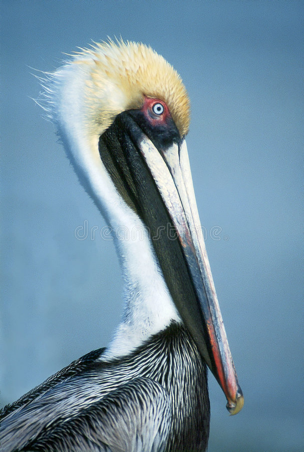 Pelican Lifestyle royalty free stock photo