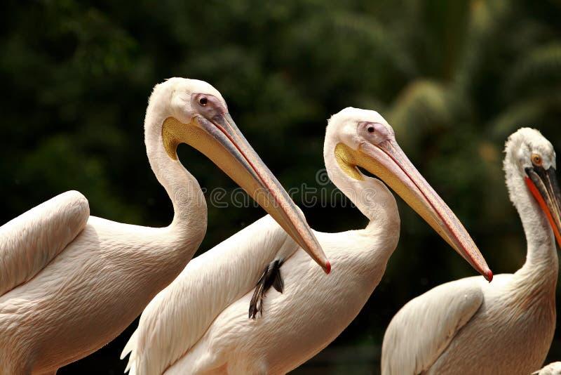 Pelican Lineup royalty free stock photos