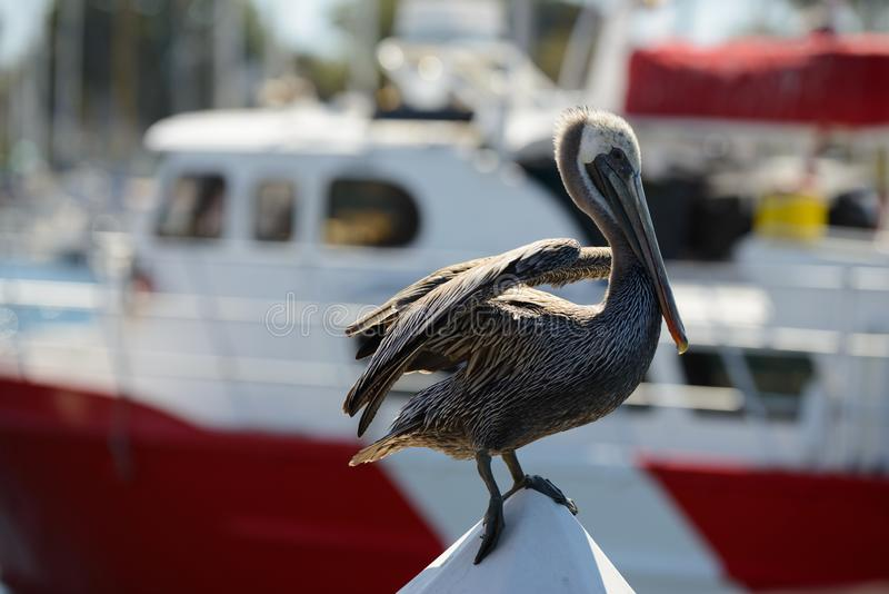 Pelican in Mission Bay San Diego, California with boat. S in the background stock photo