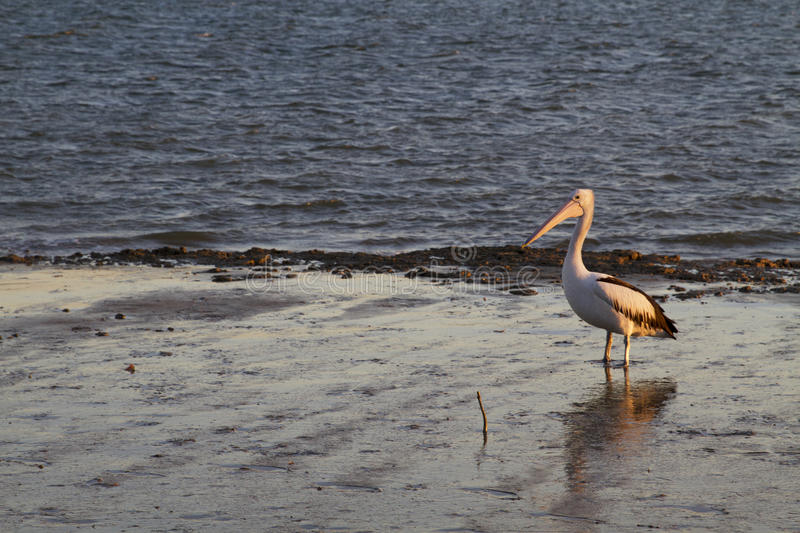 Pelican on the mudflats in the afternoon light. Burrum River, Woodgate, Queensland, Australia royalty free stock photo