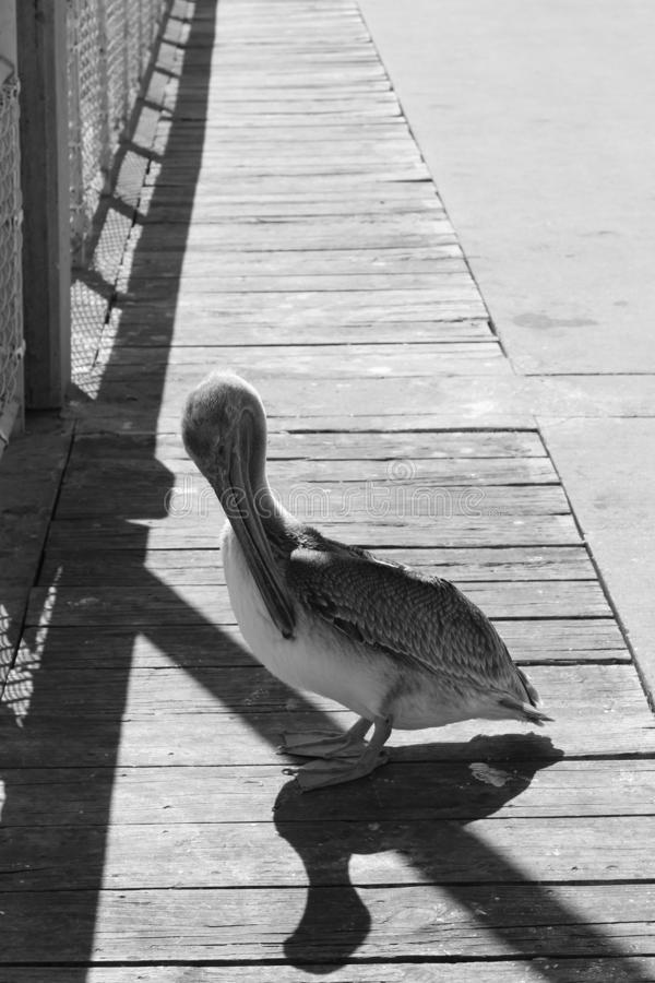Pelican no píer foto de stock