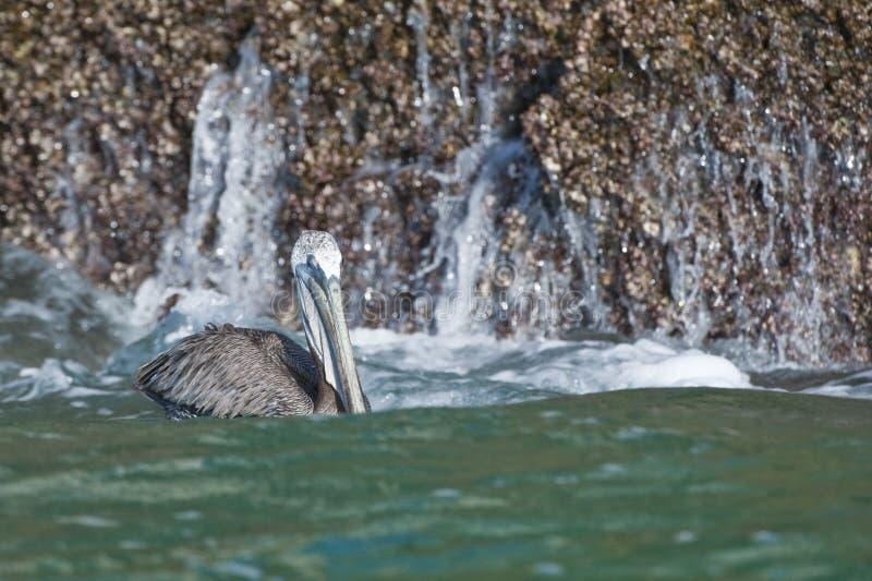 Pelican in ocean royalty free stock image