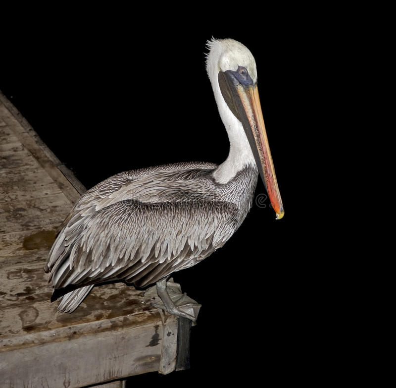 Free Pelican On The Peer 1 Royalty Free Stock Photos - 25658688
