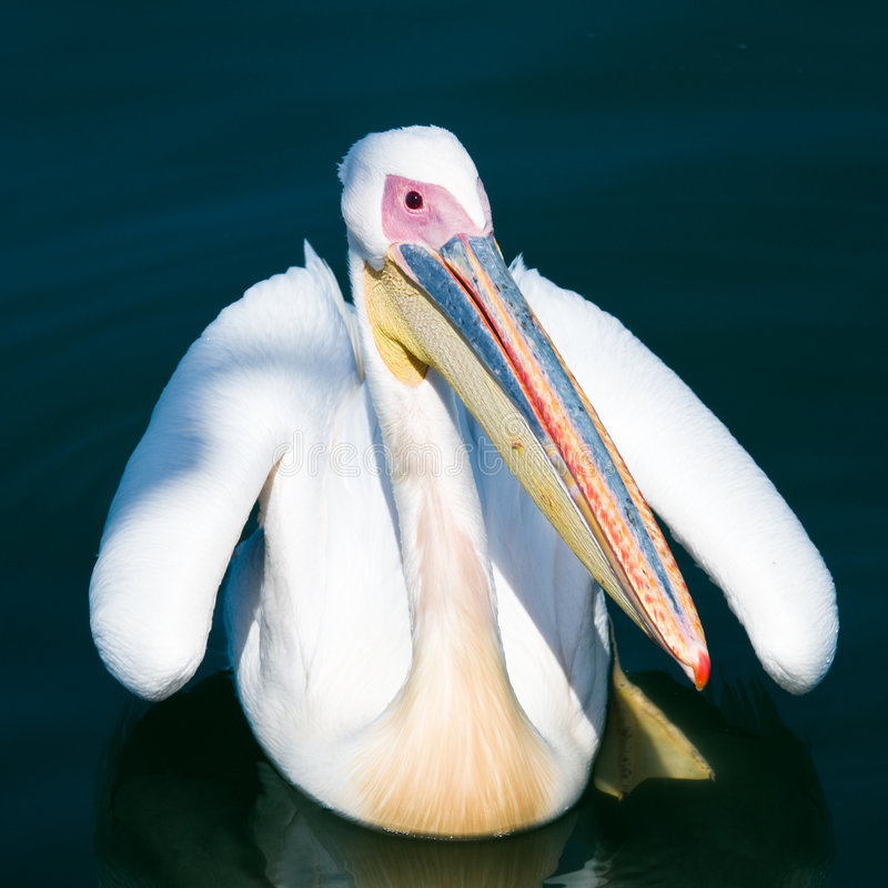 Free Pelican On Water Stock Photography - 8277542
