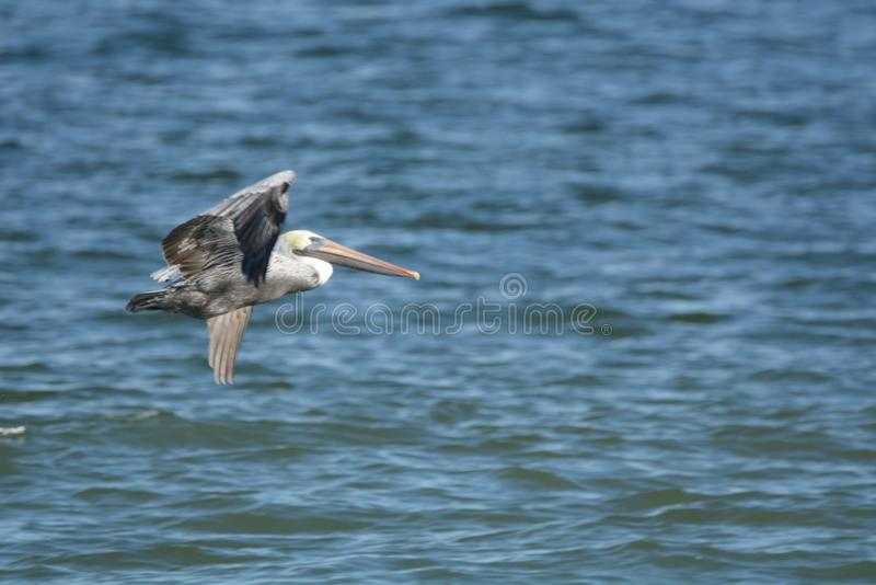 Pelicans spend the majority of each day flying low over the coastal surf looking for a meal. The pelican is one of our largest flying birds: considerably larger royalty free stock photos