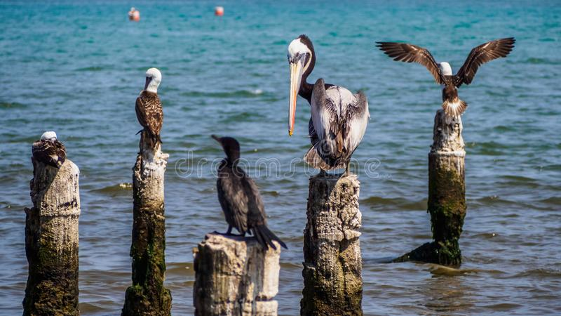 Pelican and other sea birds standing in the coast of Paracas. Peru royalty free stock photography
