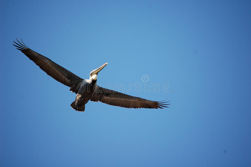 Pelican Over Wrightsville Beach. Pelican Flying Over Wrightsville Beach royalty free stock images