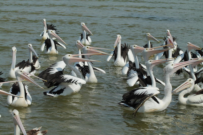 Pelican Pack Royalty Free Stock Images