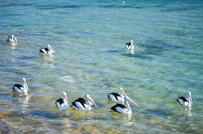 Pelican pack stock images