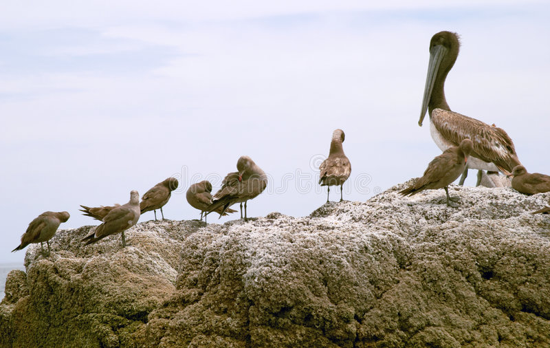 Pelican (Pelecanus onocrotalus) and marine birds stock photo