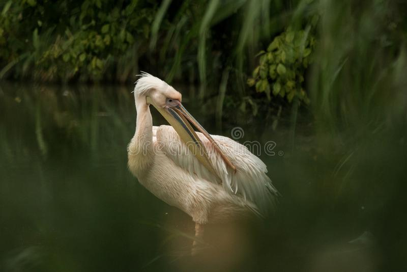 Pelican Pelecanus onocrotalus at the zoo, solo pelican grooming its feathers, beautiful pinkish bird near pond, water bird. In its enviroment, close up portrait royalty free stock image