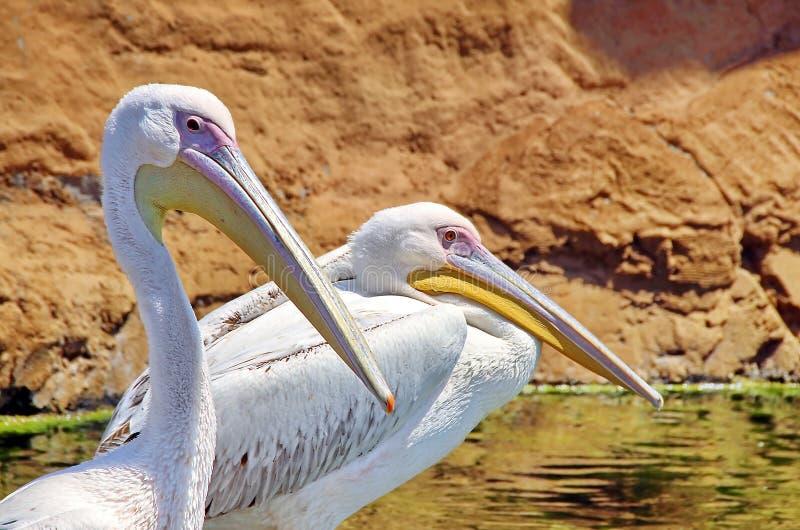 Pelican. Bird resting on water stock photo