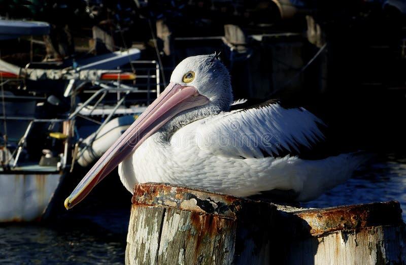 Pelican On A Pile. Free Public Domain Cc0 Image