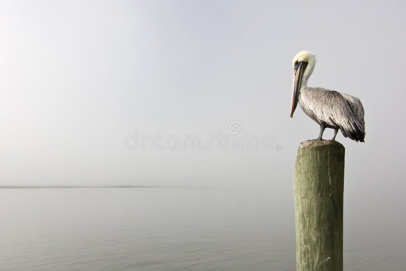 Pelican on piling royalty free stock photos