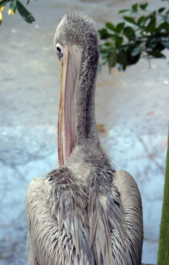 Pelican (pink-backed) Free Stock Images