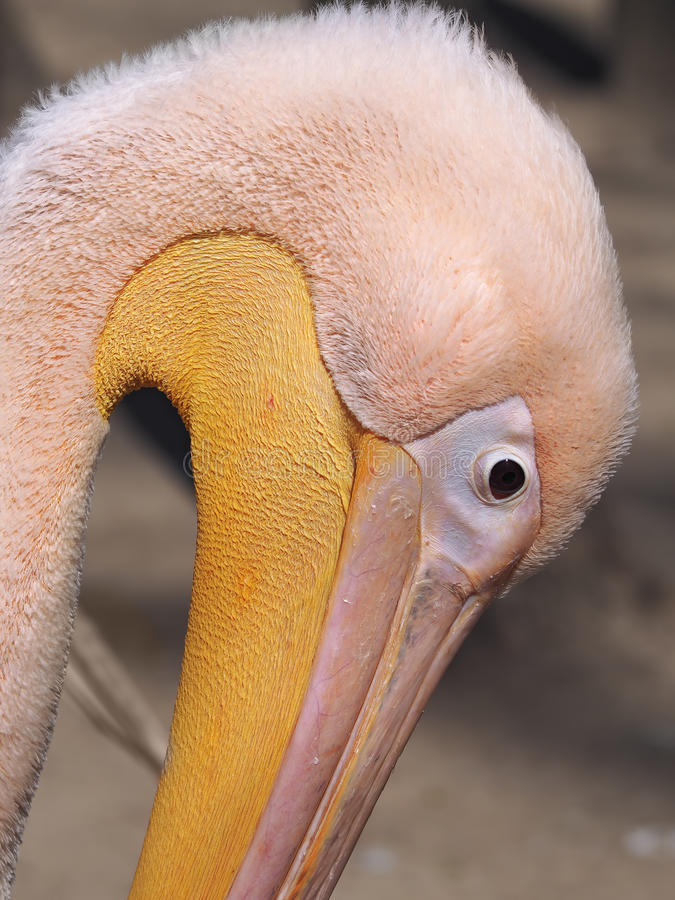 Pelican pink close up head down royalty free stock images