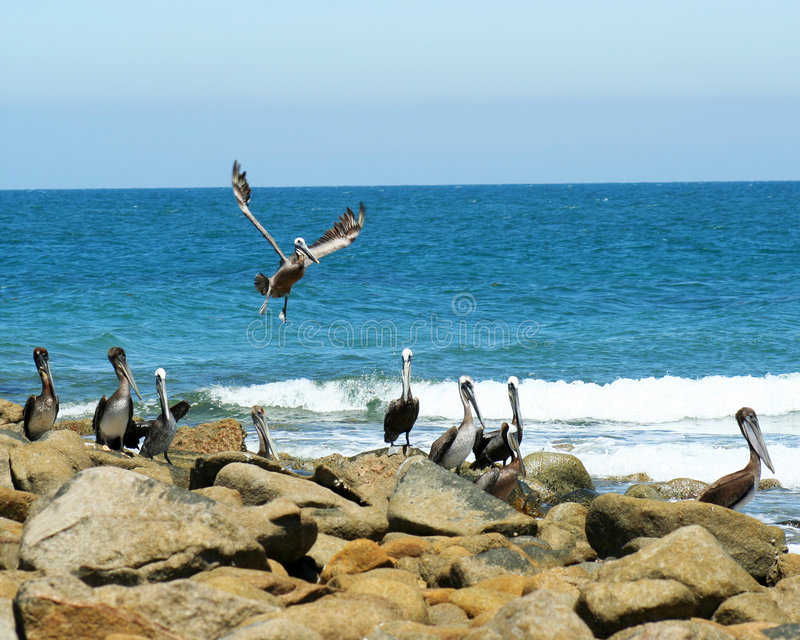 Pelican Point, Sonora, Mexico. Pelicans Gather at Appropriately Named Pelican Point, Sonora, Mexico, Off the Sea of Cortez royalty free stock image