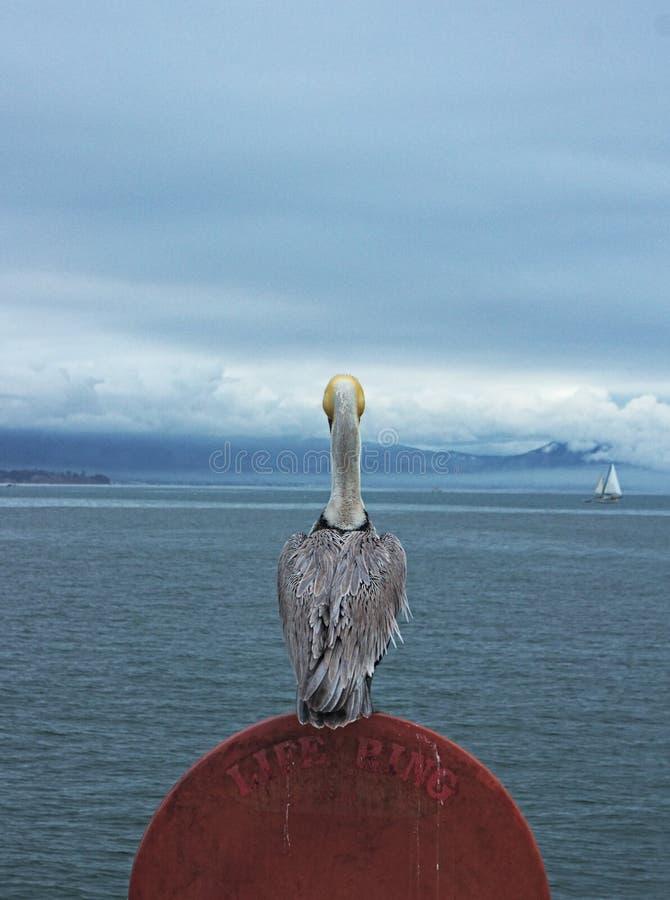 Pelican@port arkivbild