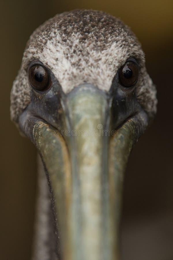Pelican_portrait 免版税库存图片