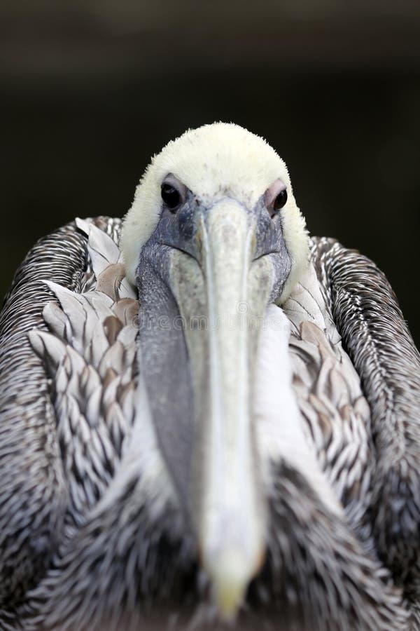 Free Pelican Portrait Royalty Free Stock Image - 26118136