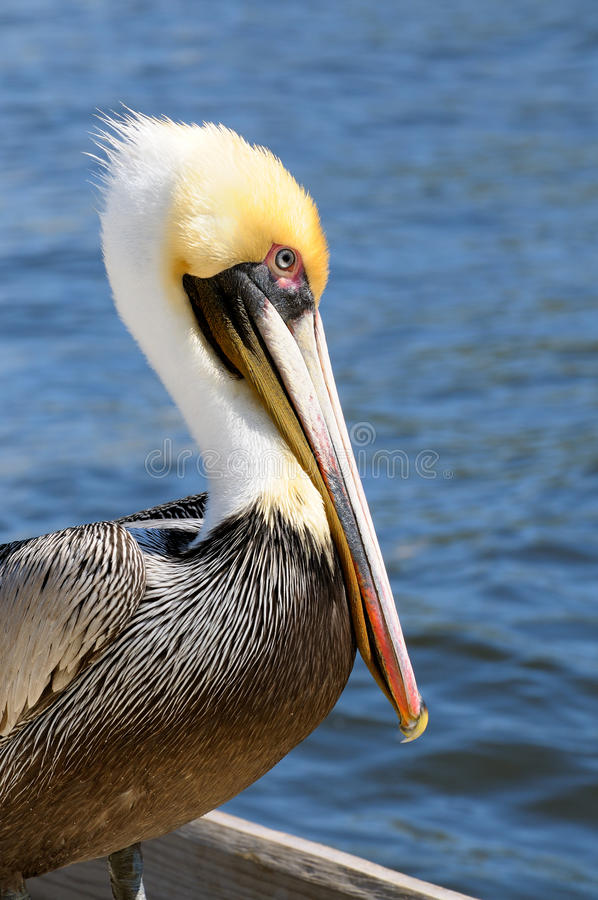 Free Pelican Portrait Side Breeding Colors Royalty Free Stock Images - 18051309