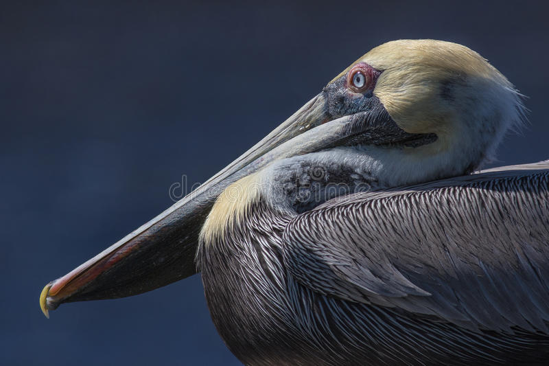 Download Pelican Portrait stock photo. Image of coast, blue, grass - 68260894