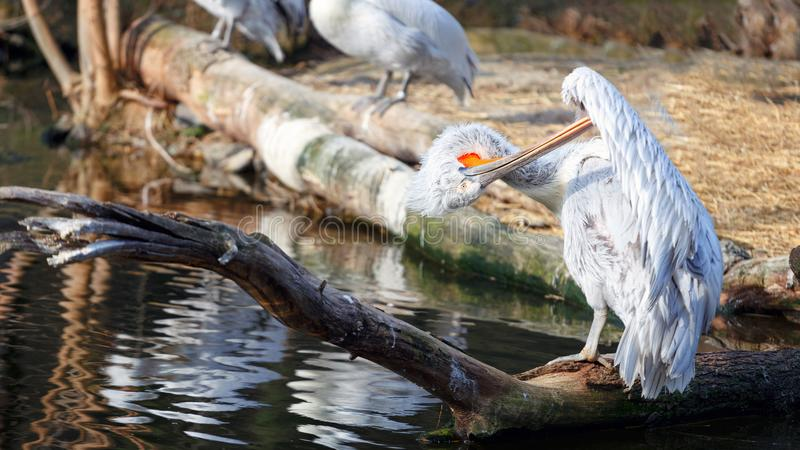 Pelican preening its feathers while sitting on the shore of the lake stock photos