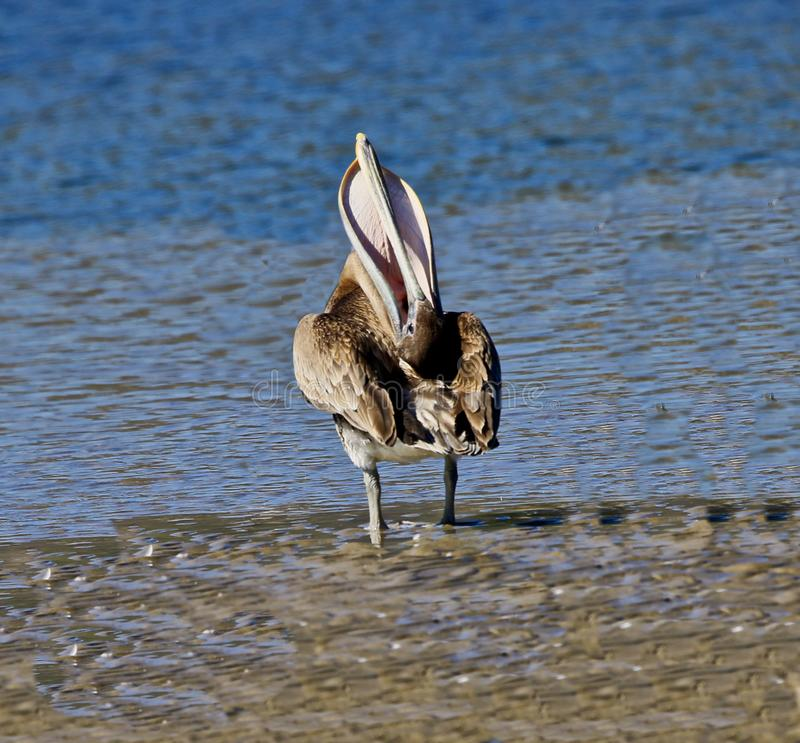 Pelican preening stock photography
