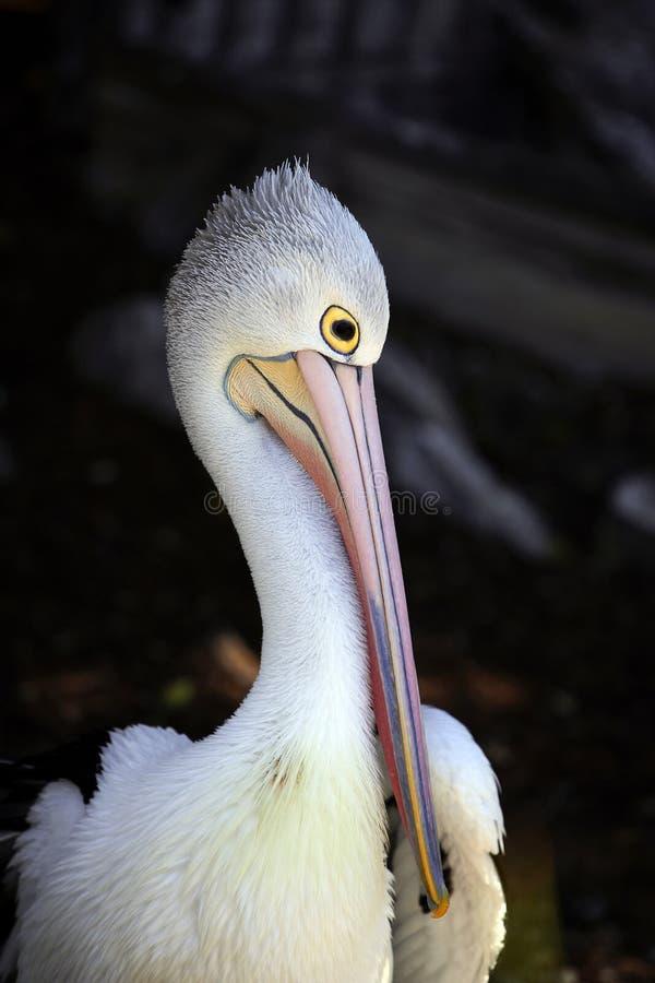 Pelican preening stock photo