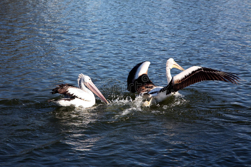 Pelican preparing to fly. Pelicans preparing to fly into the air stock images