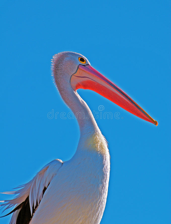 Pelican profile portrait stock image