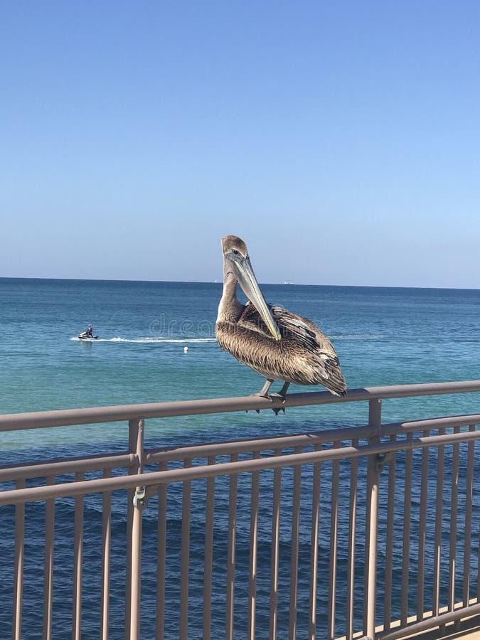 Pelican on a rail stock photo
