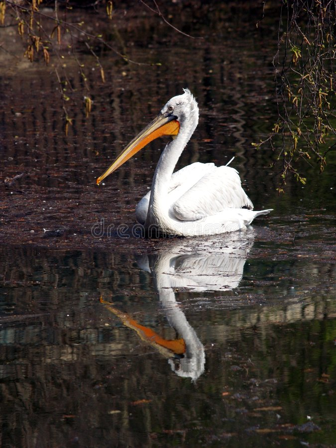 Pelican Reflected On Lake Royalty Free Stock Photo