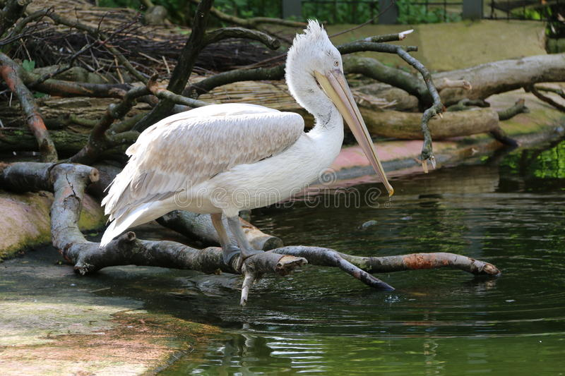 Pelican resting on a branch. Waiting for passing food stock photography