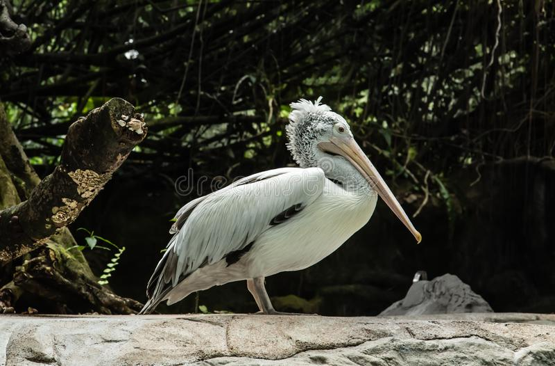 White pelican resting in green jungle. Pelican resting in green jungle royalty free stock photos