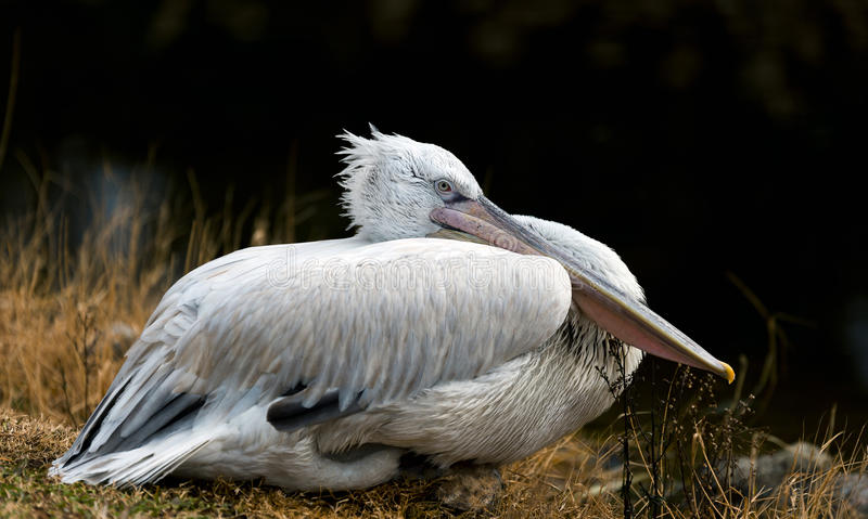 Pelican resting on ground. Pelican resting on ground and on a black background royalty free stock photo