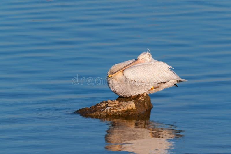 Pelican resting on a rock. A dalmatian pelican (Pelecanus crispus) resting on a rock royalty free stock photos