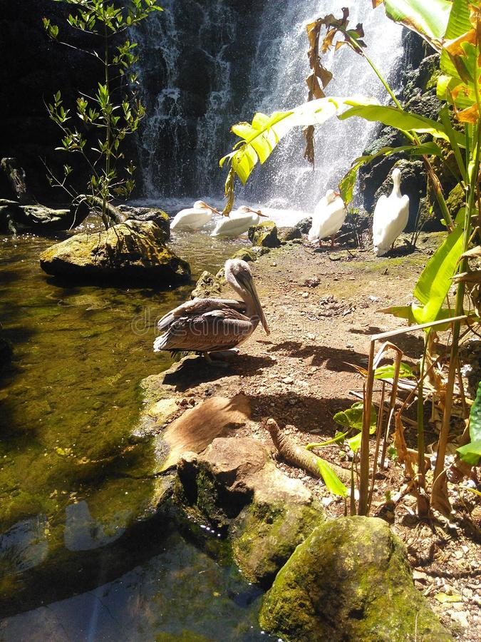 Pelican resting on the rocks. Pelican resting on the rock royalty free stock image