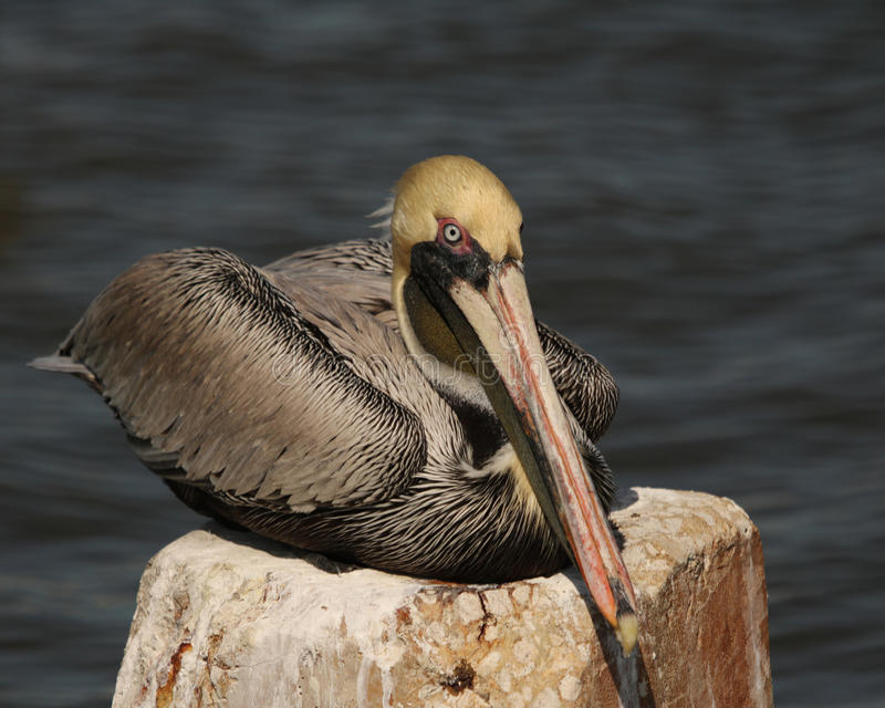 Pelican resting on stone pillar. Brown pelican resting on a large stone pillar in the water at Cedar Key, Florida stock photos
